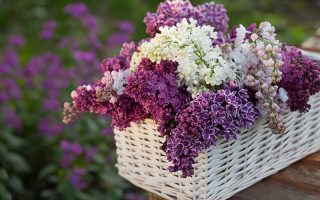 A close up horizontal image of different colored lilac flowers in a wicker basket set on a wooden table and pictured on a soft focus background.