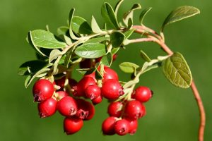 9+ of the Best Types of Cranberries for Your Garden