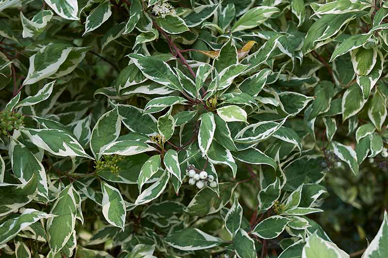 A close up horizontal image of a shrub with green and white variegated leaves growing in the garden.