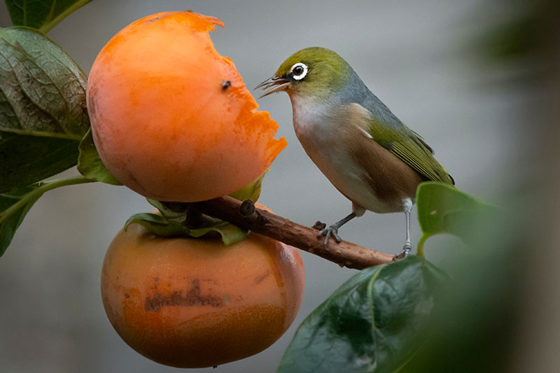 A close up horizontal image of a bird feeding on a ripe Diospyros virginiana fruit pictured on a soft focus background.