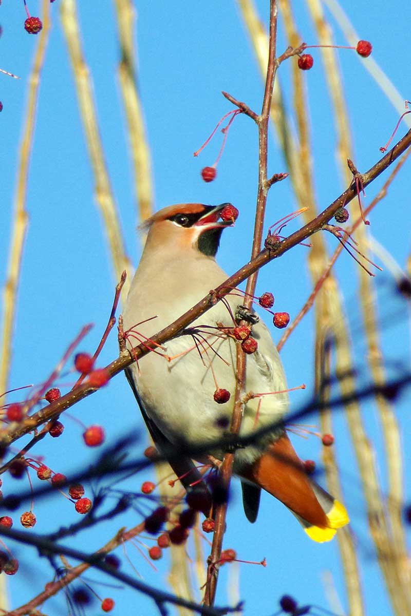 A close up vertical image of a bird feeding on bright red berries in the winter pictured on a blue sky background in light sunshine.
