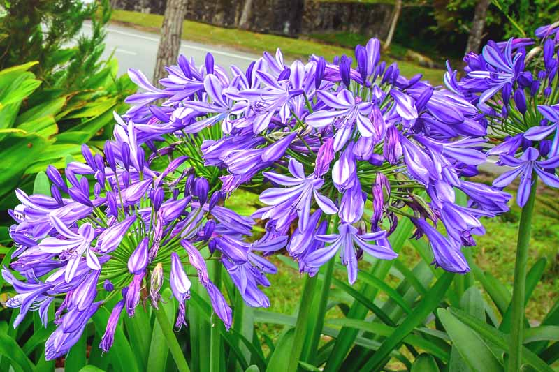 A close up horizontal image of agapanthus planted in the landscape beside a road with bright purple flowers and green foliage.