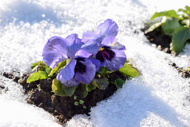 A close up horizontal image of bright blue flowers surrounded by snow pictured in bright sunshine.