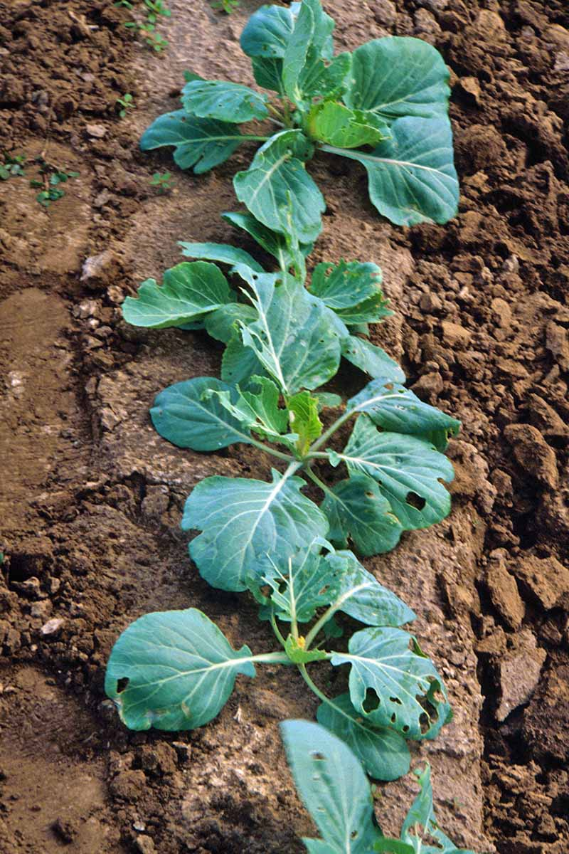 A close up vertical image of a row of brassica plants all suffering from damage by pests.