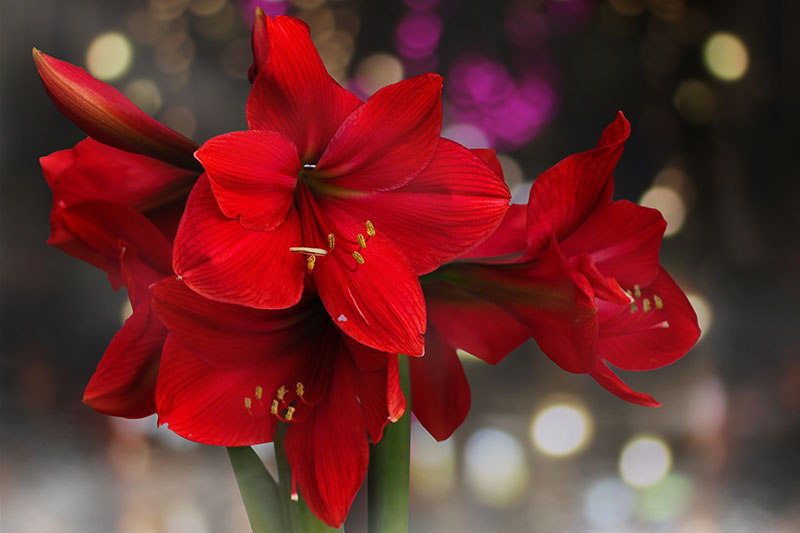 A close up horizontal image of bright red amaryllis flowers pictured on a soft focus background.