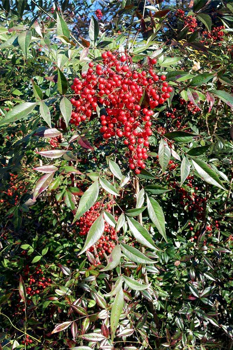 A close up vertical image of a large winterberry shrub with bright red berries and lance shaped leaves.