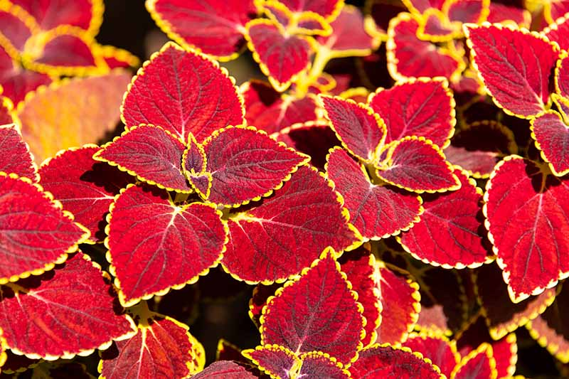 A close up horizontal image of foliage plants with bright red leaves edged in yellow pictured in bright sunshine on a dark soft focus background.