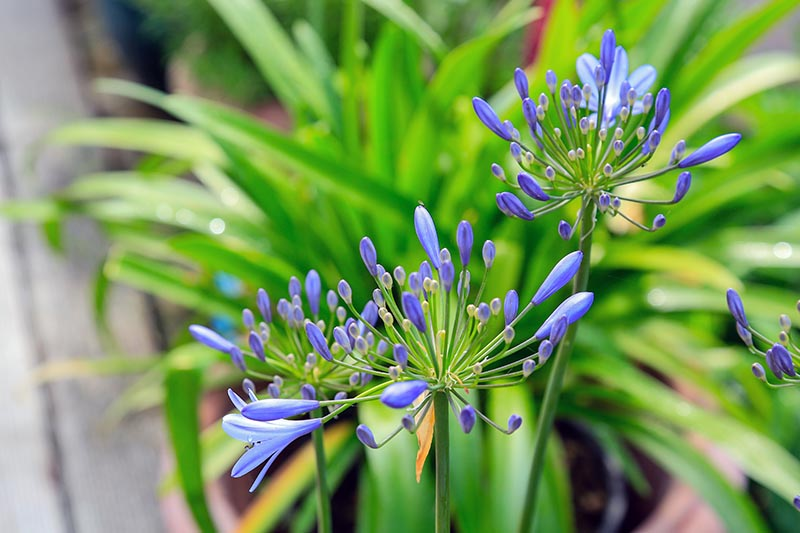 A close up horizontal image of 'Brilliant Blue' flowers growing in the garden pictured in bright sunshine with foliage in soft focus in the background.