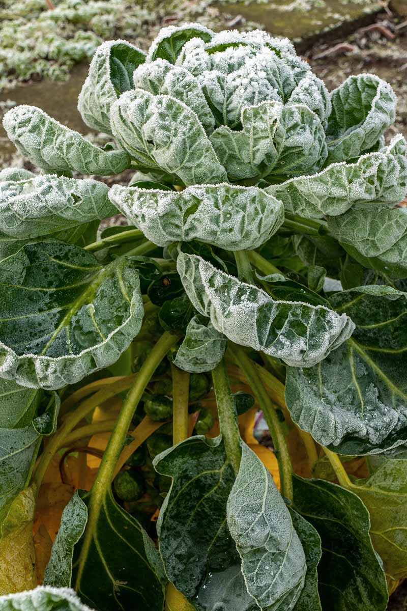 A close up vertical image of a Brassica oleracea var. gemmifera growing in the winter garden covered in a light covering of frost, pictured on a soft focus background.