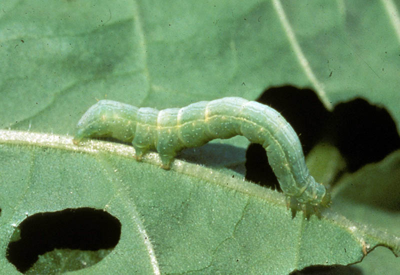 A close up horizontal image of a Trichoplusia ni moving along a cabbage leaf eating the foliage.