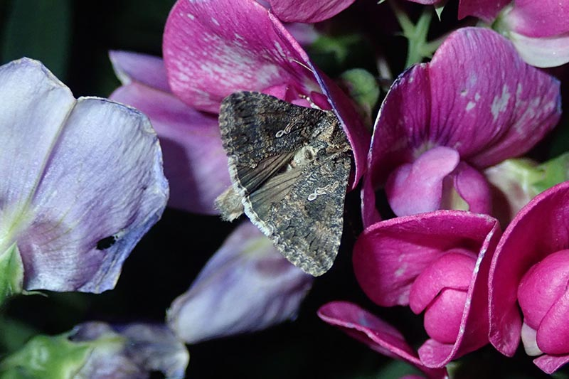 A close up horizontal image of a moth feeding on flowers pictured on a dark soft focus background.