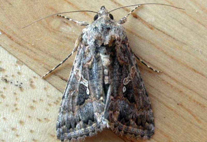 A close up horizontal image of a small grayish brown moth on a wooden surface.