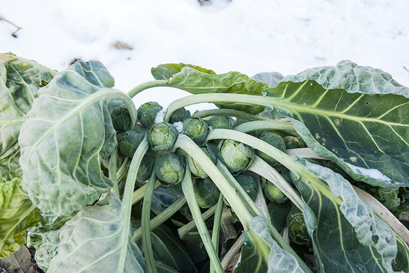 A close up horizontal image of a stalk of Brassica oleracea var. gemmifera in a snowy landscape.