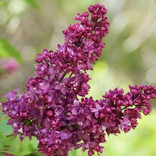 A close up square image of the purple flowers of Syringa vulgaris 'Charles Joly' pictured on a soft focus background.