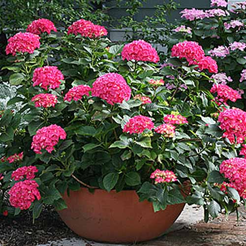 A close up square image of a shrub with bright pink flowers growing in a large pot on a patio pictured in bright sunshine.