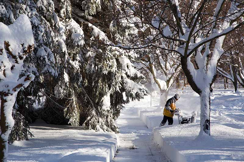 A horizontal image of a snowy winter landscape and a man clearing paths around trees, pictured in light sunshine.