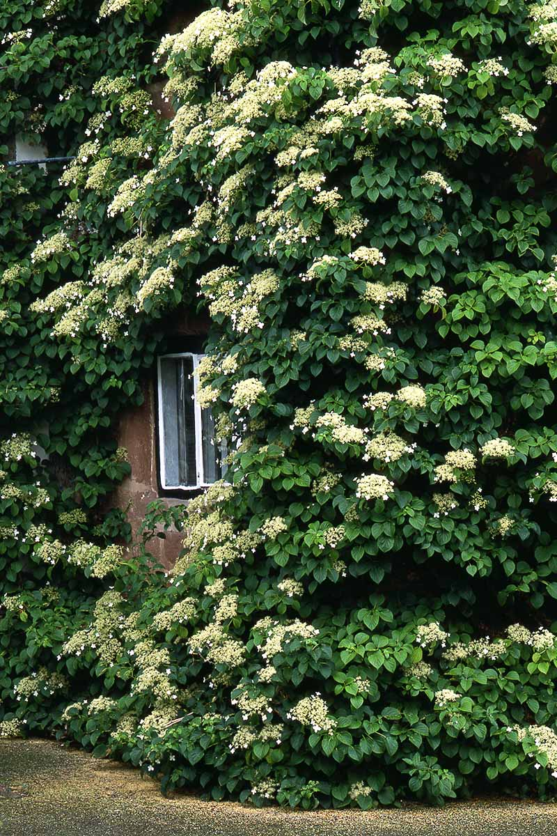A close up vertical image of Hydrangea petiolaris, a climbing variety on a stone building.
