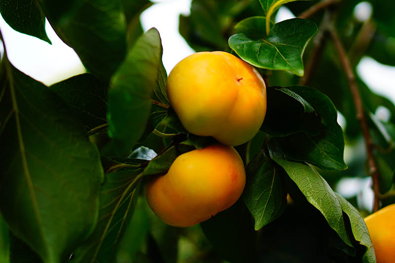 A close up horizontal image of bright orange American persimmons growing on the branch, surrounded by foliage pictured in light filtered sunshine on a soft focus background.