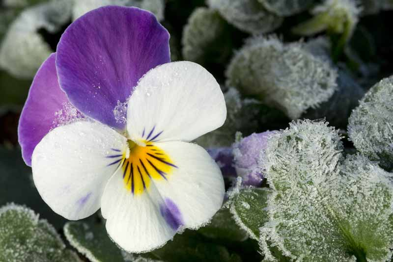 A close up horizontal image of a white, yellow, and purple flower covered in frost surrounded by foliage pictured on a soft focus background.