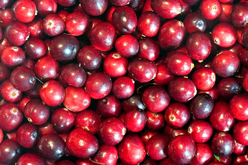 A close up horizontal image of a pile of bright red cranberries.