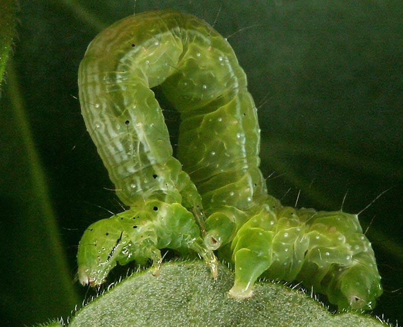 A close up square image of a cabbage looper showing the distinctive way they move.