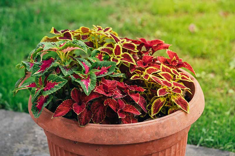 A close up horizontal image of a terra cotta pot with colorful Coleus scutellarioides set on a concrete surface with lawn in soft focus in the background.