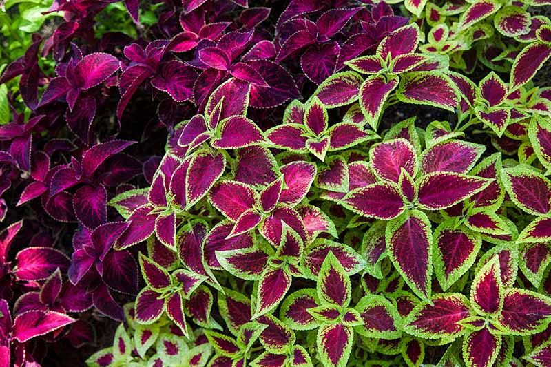 A close up horizontal image of the colorful variegated foliage in bright red, green, purple of coleus plants growing in the shade.