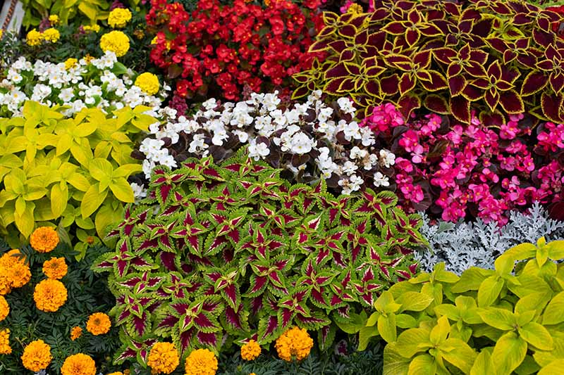 A close up horizontal image of a mixed planting of colorful foliage plants among summer flowering annuals.