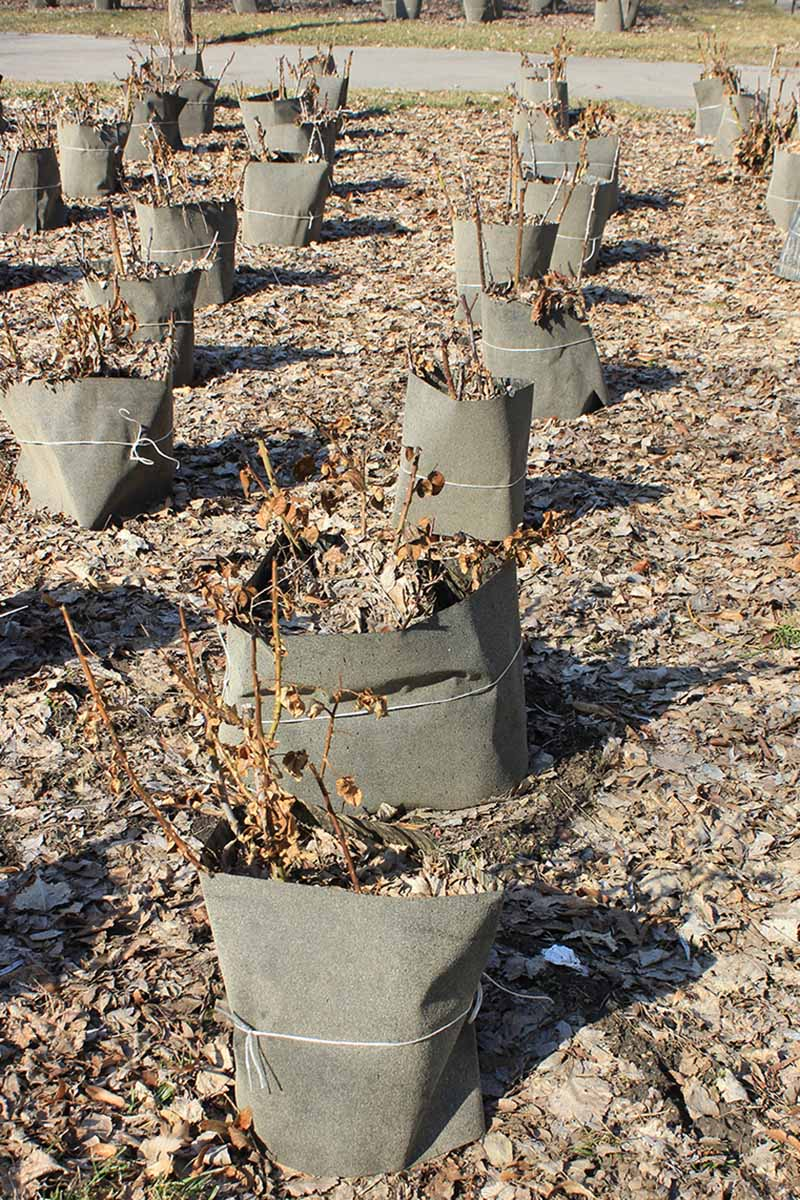 A vertical image of rows of plants with collars around them to hold in mulching material for winter protection pictured in light autumn sunshine.