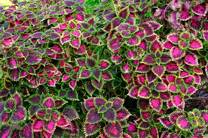 A close up horizontal image of variegated foliage plants grown as a mass planting.