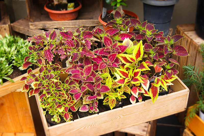 A close up horizontal image of a small wooden box with a variety of seedlings of colorful foliage plants.