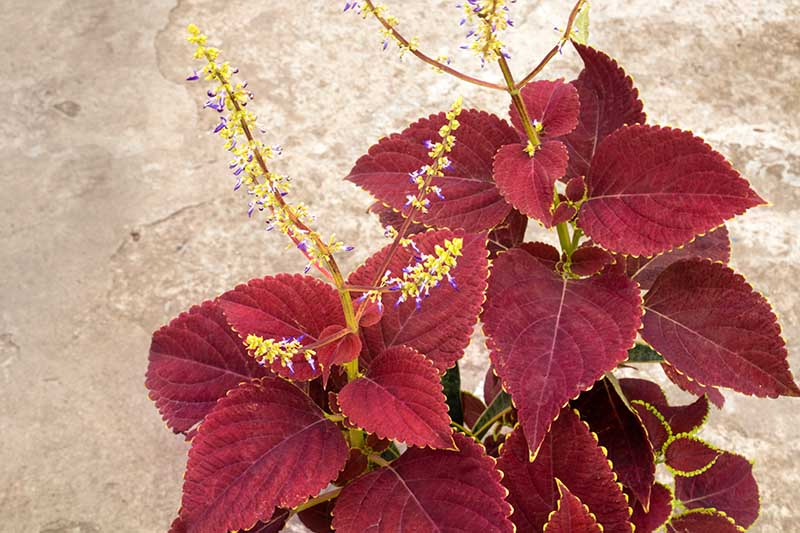 A close up horizontal image of Coleus scutellarioides that has sent up flower stalks, set on a concrete surface.
