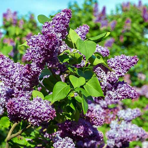 A close up square image of purple flowers of Syringa vulgaris growing in the garden pictured in bright sunshine with blue sky and foliage in soft focus in the background.