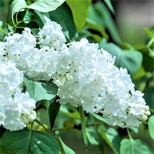 A close up square image of the white flowers of Syringa vulgaris pictured in bright sunshine on a soft focus background.