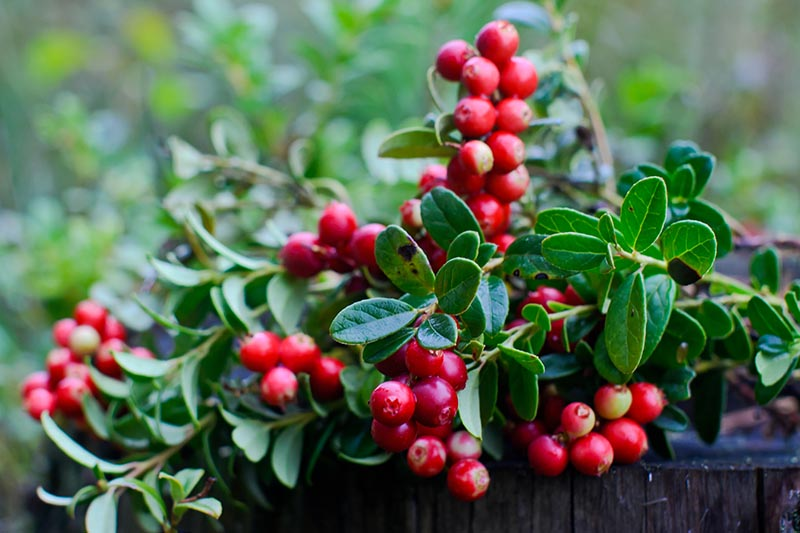 A close up horizontal image of clusters of bright red berries on a Vaccinium macrocarpon plant growing in a pot pictured on a soft focus background.