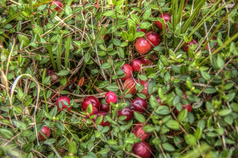 A close up horizontal image of a cranberry plant growing in the garden with bright red berries almost ready for harvest.