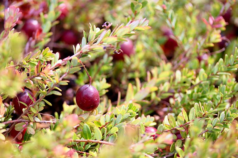 A close up horizontal image of Vaccinium macrocarpon growing in the garden with dark red berries pictured on a soft focus background.