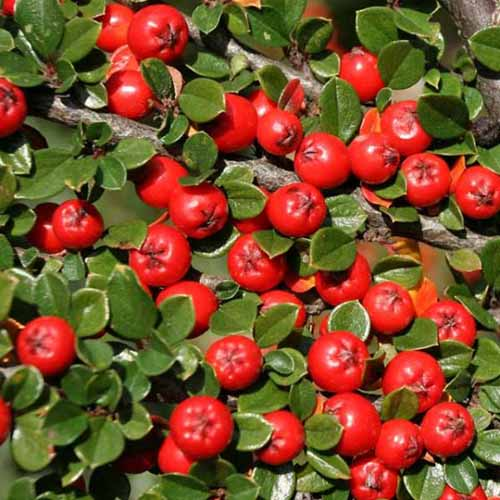 A close up square image of Cotoneaster apiculata with bright red berries and light green foliage growing in the garden pictured in bright sunshine.