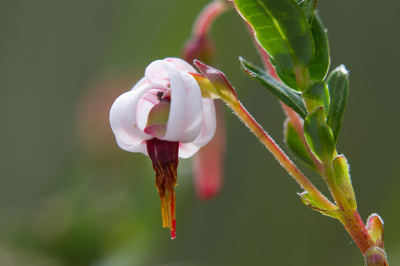 A close up horizontal image of the flower of a Vaccinium macrocarpon plant pictured on a soft focus background.