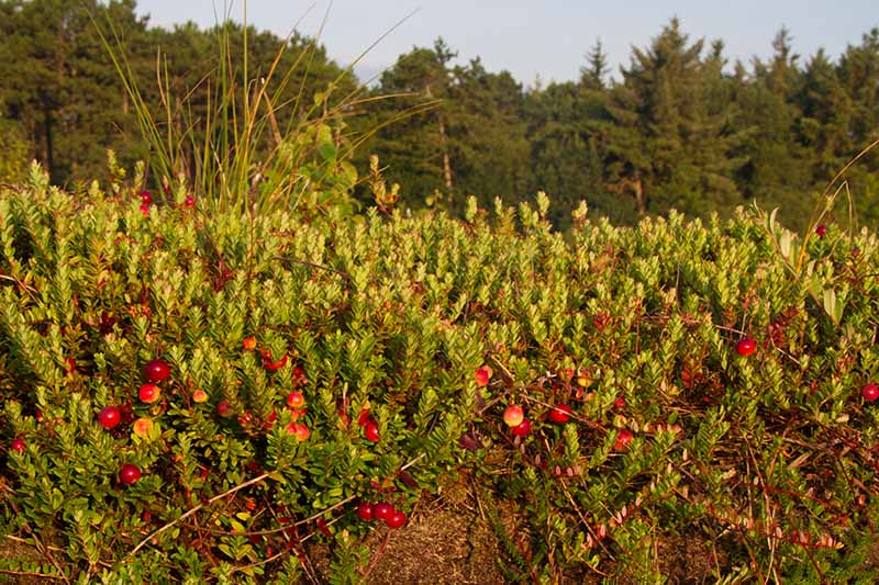 A horizontal image of Vaccinium macrocarpon growing in the garden with bright red berries and trees in soft focus in the background.