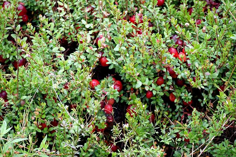 A close up horizontal image of Vaccinium macrocarpon growing in the garden with bright red fruit and soft green foliage.