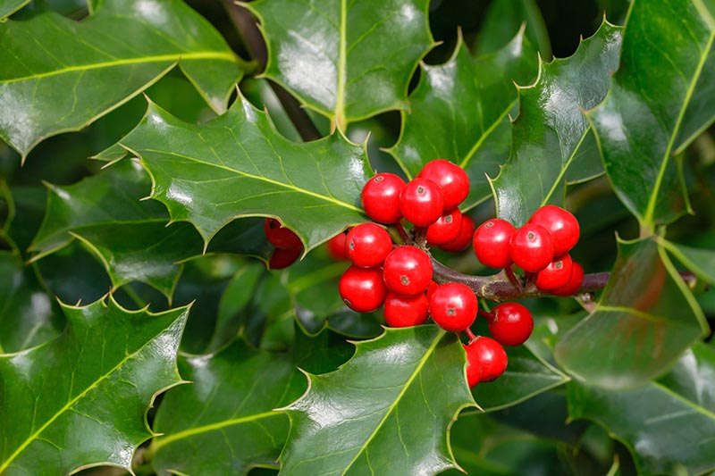 A close up horizontal picture of the spiny evergreen leaves of English holly with the characteristic bright red berries.