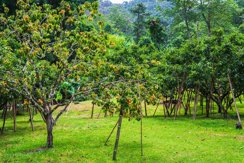 A horizontal image of an orchard of young Diospyros kaki trees with orange fruit pictured on a soft focus background.