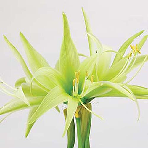 A close up square image of the light green flowers of Hippeastrum 'Evergreen' pictured on a white background.