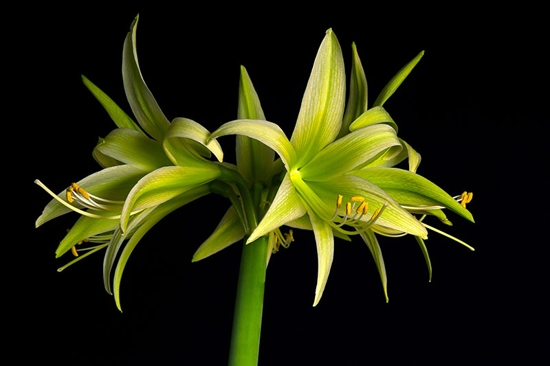 A close up horizontal image of Hippeastrum 'Evergreen' pictured on a dark background.