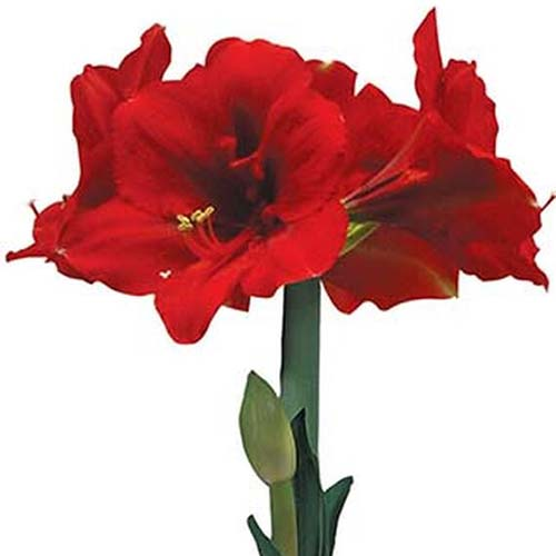 A close up square image of the bright red Hippeastrum 'Ferrari' pictured on a white background.