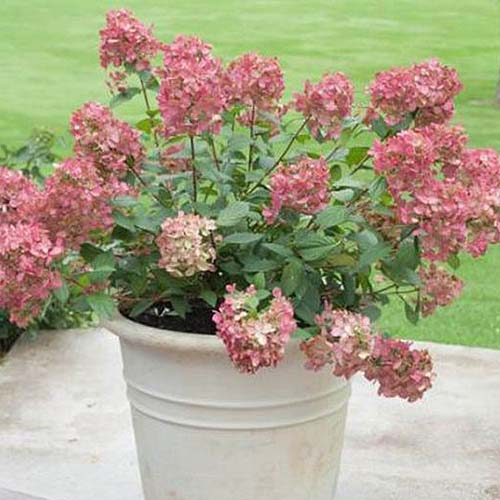 A close up square image of a potted 'Fire Light' shrub set on a concrete surface with a lawn in the background.