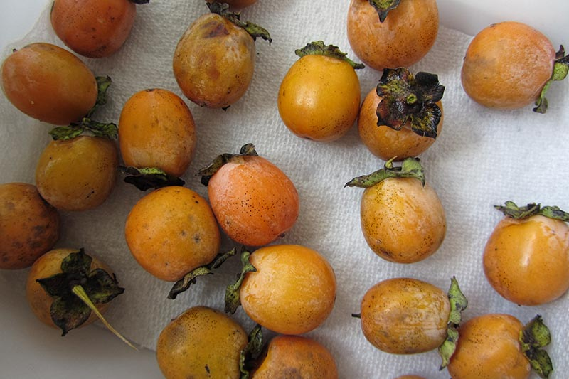 A close up horizontal image of freshly harvested American persimmons set on a paper towel.