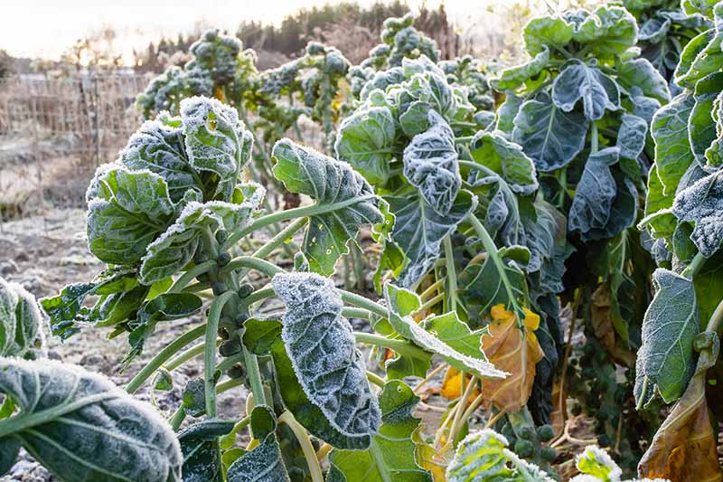 A close up horizontal image of rows of Brassica oleracea var. gemmifera growing in the winter garden covered in a light dusting of frost pictured in light sunshine on a soft focus background.