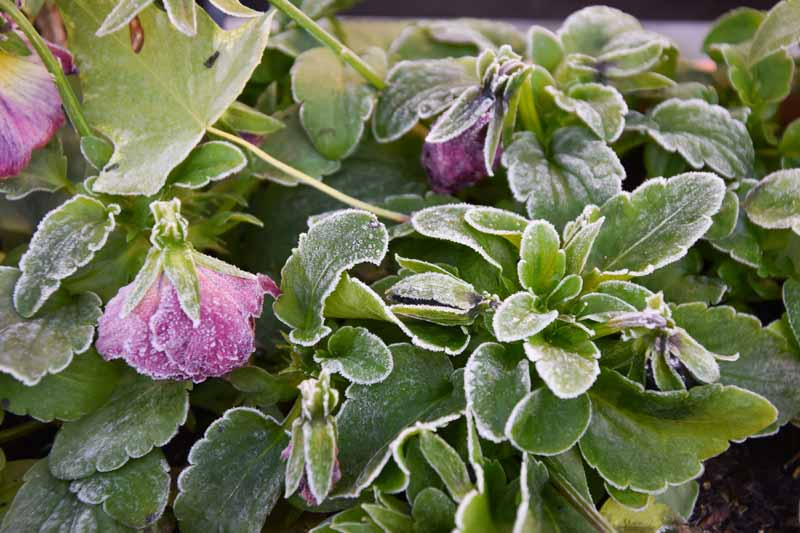 A close up horizontal image of frost on purple flowers and foliage.
